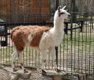 Llama body Stock Image