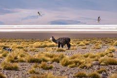 Llama in Bolivean altiplano - Potosi Department, Bolivia Stock Photography