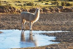Llama in Bolivia Royalty Free Stock Photography