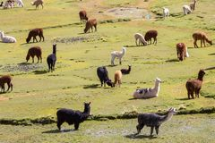 Llama in Bolivia Royalty Free Stock Photo