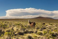 Llama in Bolivia Stock Photography