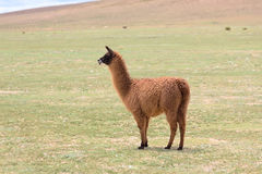 Llama in the Bolivian altiplano Stock Photos