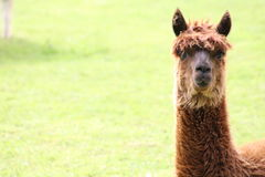 A llama. A brown llama lying in a field Royalty Free Stock Photo
