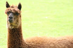 A llama. A brown llama lying in a field Royalty Free Stock Photography