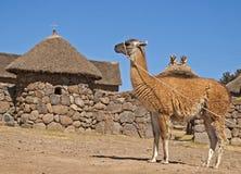 Llama-camel. Guanaco (alpaca, llama) - camel of the Andes. Beautiful guanaco near traditional house, Peru Stock Image