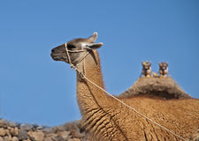 Llama-camel. Guanaco (alpaca, llama) - camel of the Andes. Beautiful guanaco near traditional house, Peru Stock Photography