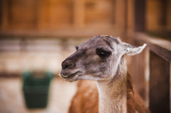 Llama in captivity Royalty Free Stock Image