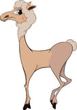 The llama. Cartoon. The graceful beautiful llama with a white wool Royalty Free Stock Photography