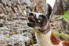 Llama in Machu Picchu, Cuzco, Peru royalty free stock photos
