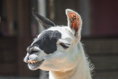Llama chewing something Royalty Free Stock Photos