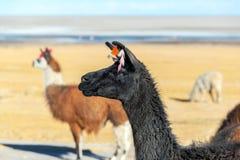 Llama Closeup Stock Image