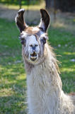 Llama closeup with funny expression on face Stock Image