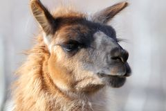 Llama closeup Royalty Free Stock Images