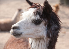 Llama closeup portrait Royalty Free Stock Photography