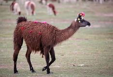 Llama with colorful ribbons Royalty Free Stock Photography