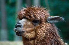 Llama with crooked teeth. Shot of a llama with crooked teeth royalty free stock photo