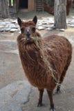Llama. With crooked teeth. Zoo in Tbilisi stock image