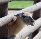 Llama. Cute llama animal in the zoo. Close up Stock Images