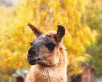 Llama cute face Royalty Free Stock Photos