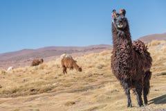 Llama. Cute llamas of Altiplano, Bolivia, South America Stock Image