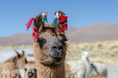 Llama. Cute llamas of Altiplano Bolivia South America Stock Photography
