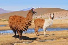 Llama de Bolivia, llama femenina con su varón Cria imagenes de archivo