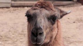Llama de la alpaca almacen de metraje de vídeo