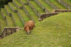 Llama de los Peruvian de Machu Picchu Imagen de archivo