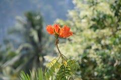 Llama del monosperma del Butea del bosque Foto de archivo libre de regalías
