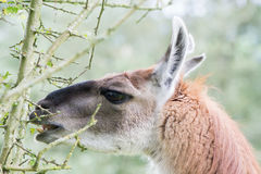 Llama delicately eating leaf from thorn bush Royalty Free Stock Image