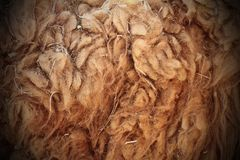 Llama dirty fur Stock Photography