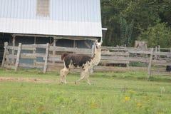 Llama, Domesticated on Farm Stock Images