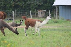 Llama, Domesticated on Farm Royalty Free Stock Image