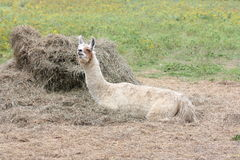 Llama, Domesticated on Farm Stock Images