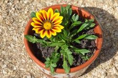 Llama dura del amarillo de la variedad del Gazania (lat Splendens amarillos del Gazania de la llama) en un pote de arcilla en la  Imagen de archivo