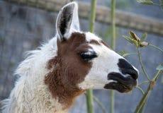 Llama Eating Stock Photos