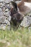 Llama eating. Brown llama eating some grass Stock Image