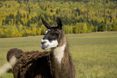 Llama eating grass Royalty Free Stock Image