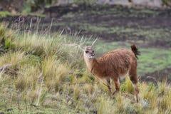 Llama eating grass Stock Photos