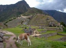 A Llama Eating Grass at the Inca Ruins at Machu Picchu. A llama grazing on the grass among the Inca ruins at Machu Picchu, Peru with its assortment of intact stock photos