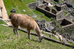 A Llama Eating Grass at the Inca Ruins at Machu Picchu. A llama grazing on the grass among the Inca ruins at Machu Picchu, Peru with its assortment of intact stock photography