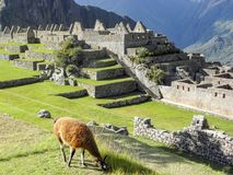 A llama eating grass in machu picchu royalty free stock images