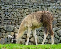 Llama eating grass in Machu Picchu, Peru, 02/08/2019 royalty free stock photos