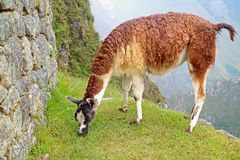 Llama eating grasses at the Inca citadel of Machu Picchu, Cusco, Peru, South America. Beauty in nature adventure aguas alone alpaca ancient animal stock photography