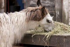 Llama eating hay. Stock Images