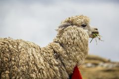 Llama eating Royalty Free Stock Images