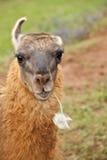 Llama. Eating an herb and looking at the camera Stock Image