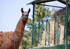 Llama Eating Stock Photos