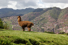 Llama en Cusco en Perú Imagenes de archivo