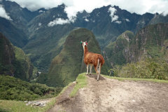 Llama en la ciudad perdida histórica de Machu Picchu. Fotos de archivo libres de regalías